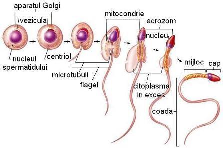 penisul masculin și tipurile acestuia