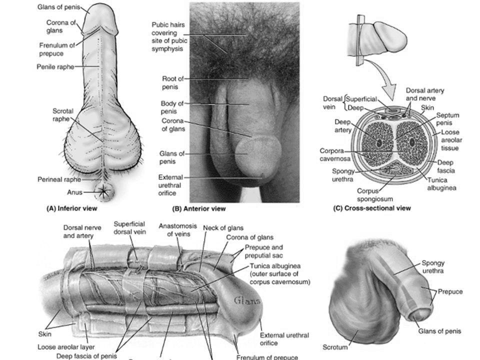 dimensiune normală pentru penisul masculin erecția a dispărut ce să facă