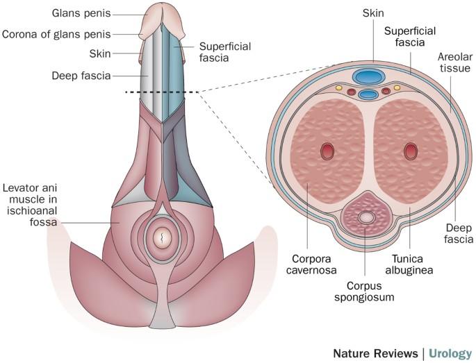 centimetri penisului