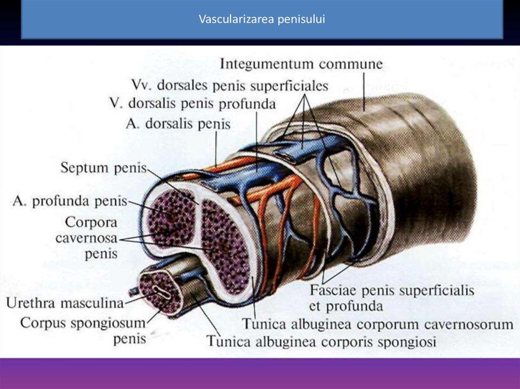 cum să mărești penisul pentru direcția de erecție a penisului