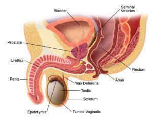penis și urinare