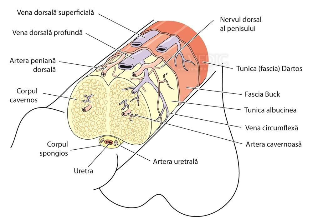 penisul masculin și dimensiunile