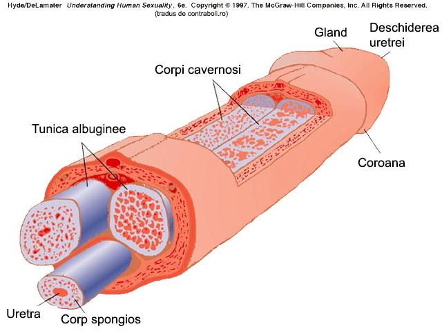 dopul penisului din care după o erecție cade membrul