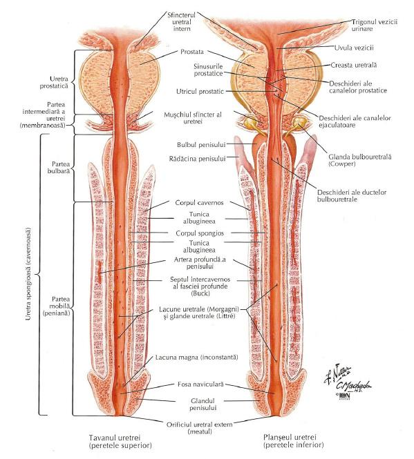 forum pentru tratamentul erecției