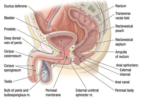 masajul prostatei pentru a spori erecția