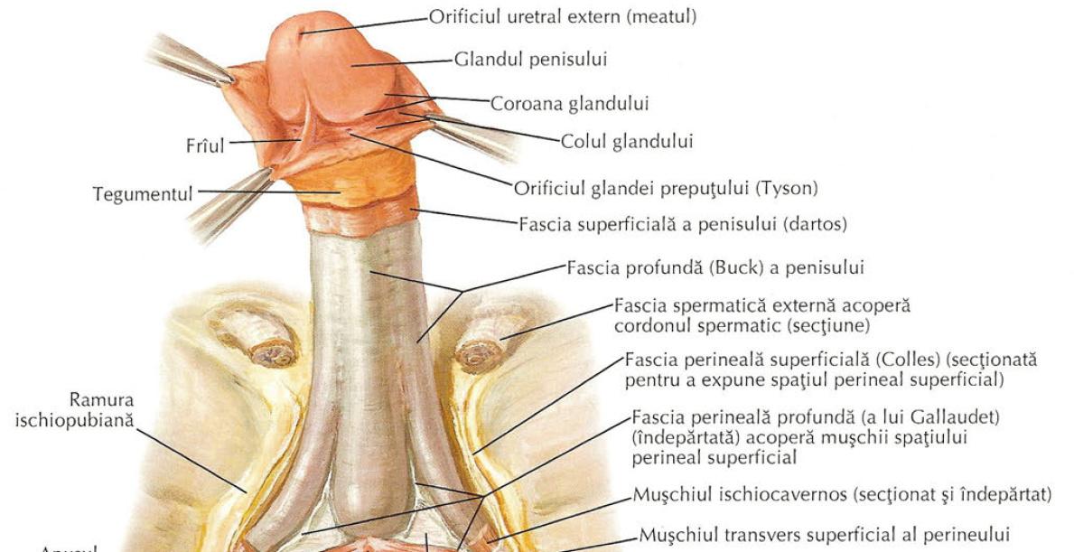 toate dimensiunile penisului masculin țesutul muscular al penisului