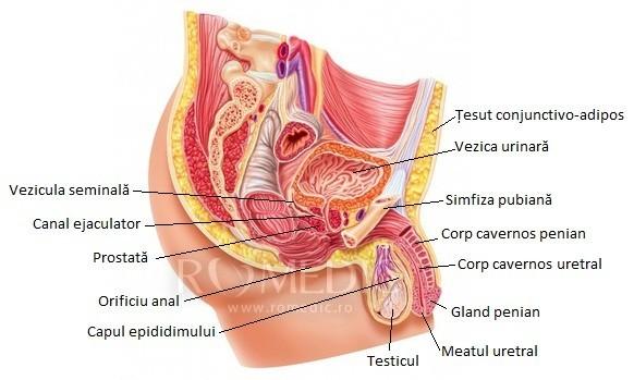 organele genitale feminine și penisul