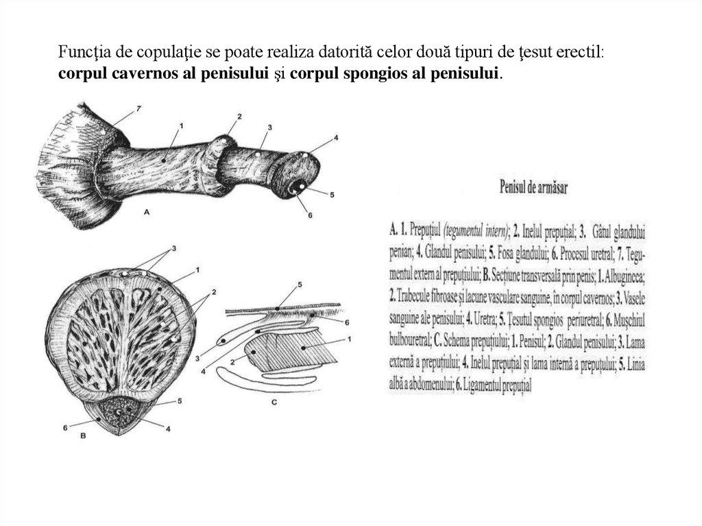 Dimensiunea penisului uman - Human penis size - alf-stamps.ro